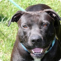 American Staffordshire Terrier Mix Dog for adoption in Sparta, Tennessee - Perry