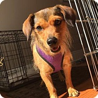 Adopt A Pet :: Honey2 - Tampa, FL