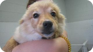 Pomeranian/Terrier (Unknown Type, Small) Mix Puppy for adoption in Danielsville, Georgia - Anne Bella