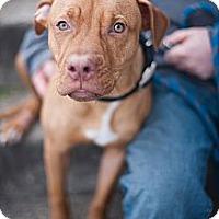 Adopt A Pet :: Ralphie - Reisterstown, MD