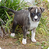 Adopt A Pet :: Saffron(1.5 lb) New Pics/Video - SUSSEX, NJ