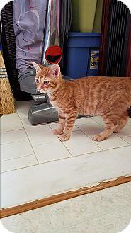 Domestic Shorthair Kitten for adoption in Nashville, Tennessee - Neptune