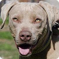 Adopt A Pet :: Sage - Midlothian, VA