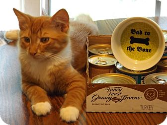 Domestic Shorthair Kitten for adoption in Burlington, North Carolina - Curtis