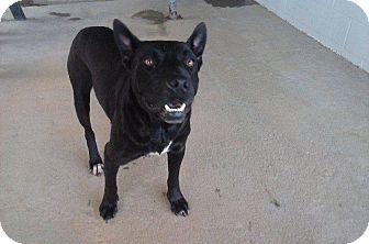 Australian Kelpie Mix Dog for adoption in Powellsville, North Carolina - TRAMP