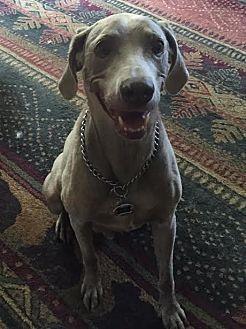 Weimaraner Mix Dog for adoption in Grand Haven, Michigan - Austin