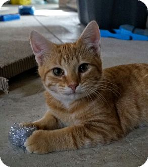 Domestic Shorthair Kitten for adoption in Manitowoc, Wisconsin - Carl