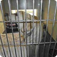 Labrador Retriever Mix Dog for adoption in Beverly Hills, California - GENESIS A041034 @ Upland