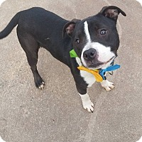 Adopt A Pet :: CODEY - Bridgewater, NJ
