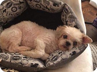 Shih Tzu Mix Dog for adoption in Alpharetta, Georgia - Cookee