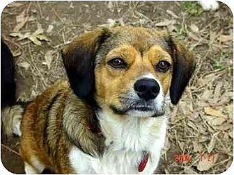 Beagle/Terrier (Unknown Type, Small) Mix Dog for adoption in Winnsboro, South Carolina - Precious