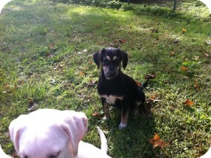Shepherd (Unknown Type)/Labrador Retriever Mix Puppy for adoption in Marlton, New Jersey - Molly