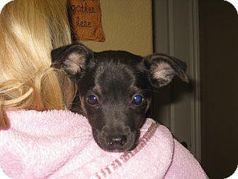 German Shepherd Dog/Labrador Retriever Mix Puppy for adoption in Torrance, California - SMOKEY