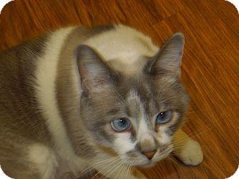 Domestic Shorthair Cat for adoption in Medina, Ohio - Savina