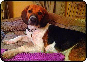 Hound (Unknown Type)/Beagle Mix Dog for adoption in Richmond, Virginia - Noah