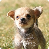 Adopt A Pet :: Remy - Tumwater, WA