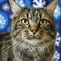 Maine Coon Cat for adoption in Wichita Falls, Texas - Spencer