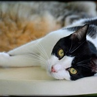 Domestic Shorthair Cat for adoption in Oviedo, Florida - Isabella