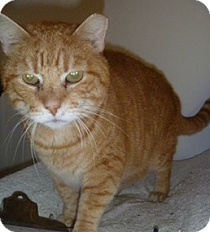 Domestic Shorthair Cat for adoption in Hamburg, New York - Zane