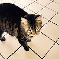 Adopt A Pet :: BOOTSIE - PT ORANGE, FL