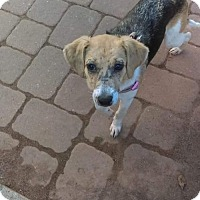 Beagle/Hound (Unknown Type) Mix Dog for adoption in Millbrook, New York - Greta Sweet Beagle