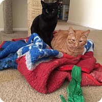 Domestic Shorthair Kitten for adoption in Philadelphia, Pennsylvania - Jakub
