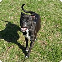 Adopt A Pet :: 1-8 Mazy - Triadelphia, WV