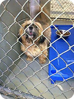 Lhasa Apso Dog for adoption in Fort Riley, Kansas - Koda