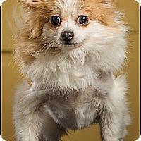 Adopt A Pet :: Sable - Owensboro, KY
