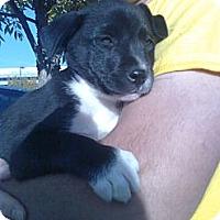 Adopt A Pet :: Ally Bear - Seattle, WA
