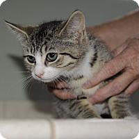 Adopt A Pet :: Cedar 1 - Plainville, MA
