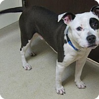 Adopt A Pet :: Petey - Gary, IN