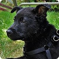 Adopt A Pet :: Puck - Kirkland, WA