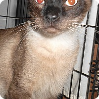 Adopt A Pet :: Sam (Declaw) - Chattanooga, TN
