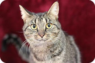 Domestic Shorthair Cat for adoption in Midland, Michigan - Tabbytha - $25!