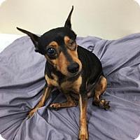 Adopt A Pet :: Honey Boo - Miami, FL