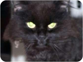 Domestic Longhair Cat for adoption in Quilcene, Washington - Cadbury