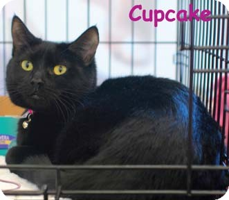 Domestic Shorthair Kitten for adoption in Merrifield, Virginia - Cupcake