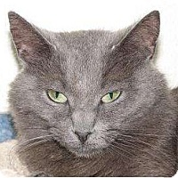 Domestic Shorthair Cat for adoption in Woodstock, Illinois - Lizzy