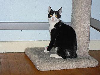 Domestic Shorthair Cat for adoption in Ephrata, Pennsylvania - Roman - VIDEO!!