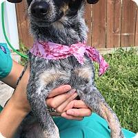 Adopt A Pet :: Bonnie Rock - Norwalk, CT