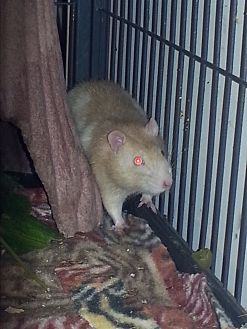 Rat for adoption in St Johns, Florida - Williard