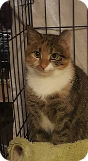 Calico Kitten for adoption in Stafford, Virginia - Amber