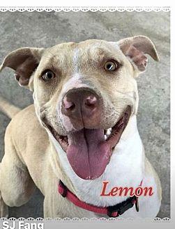Labrador Retriever Dog for adoption in Ocala, Florida - LEMON