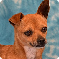 Chihuahua Mix Dog for adoption in Eureka, California - Lucy