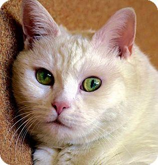 Domestic Shorthair Cat for adoption in Norwalk, Connecticut - Sarah