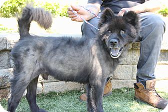 Chow Chow Mix Dog for adoption in Greensboro, North Carolina - Lucky