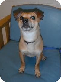 Chihuahua Mix Dog for adoption in Jackson, Michigan - Sparky