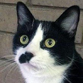 Domestic Shorthair Cat for adoption in Phoenix, Arizona - SugarMama