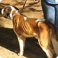 Adopt A Pet :: NELLIE - ADOPTION PENDING - Sudbury, MA